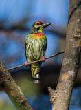 Barbets, Coppersmith (Megalaima haemacephala)