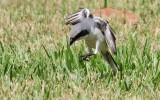 Loggerhead Shrikes Hover-hunting