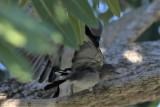 Loggerhead Shrike Attacking A Blue-gray Gnatcatcher