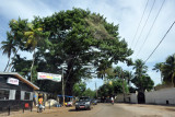 Tropical tree in Conakry
