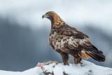 golden eagle(Aquila chrysaetos, steenarend)