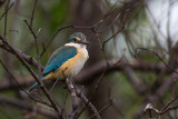 sacred kingfisher(Todiramphus sanctus)
