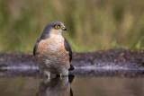 eurasian sparrowhawk(Accipiter nisus, NL: sperwer)