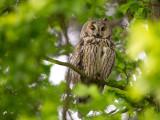 long-eared owl(Asio otis, NL: ransuil)