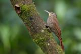 spot-crowned woodcreeper(Lepidocolaptes affinis)