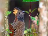 spotted wood quail(Odontophorus guttatus)