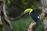 keel-billed toucan(Ramphastos sulfuratus)