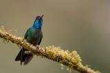 admirable hummingbird (m.)(Eugenes spectabilis)