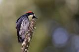 acorn woodpecker (f.)(Melanerpes formicivorus)
