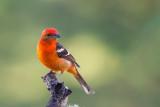 flame-colored tanager (m.)(Piranga bidentata)