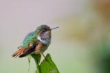 scintillant hummingbird(Selasphorus scintilla)