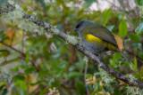 black-and-yellow phainoptila(Phainoptila melanoxantha)