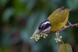 sooty-capped bush tanager(Chlorospingus pileatus)