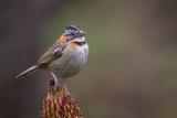 rufous-collared sparrow(Zonotrichia capensis)