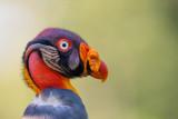 king vulture(Sarcoramphus papa)