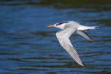royal tern(Sterna maxima)