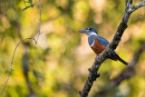ringed kingfisher(Megaceryle torquata)