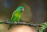 orange-chinned parakeet(Brotogeris jugularis)