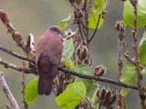 ruddy pigeon(Columba subvinacea)