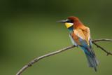 european bee-eater(Merops apiaster)