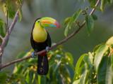 Keel-Billed Toucan, (Ramphastos sulfuratus), Costa Rica