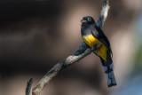 black-headed trogon(Trogon melanocephalus)