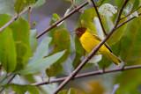 american yellow warbler(Setophaga aestiva)