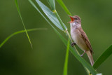 great reed warbler(Acrocephalus arundinaceus, NL: grote karekiet)