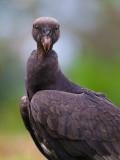 king vulture (juv.)(Sarcoramphus papa)