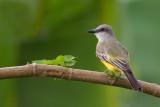 tropical kingbird(Tyrannus melancholicus)