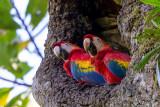 scarlet macaw(Ara macao)