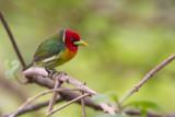 red-headed barbet(Eubucco bourcierii)
