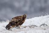 golden eagle(Aquila chrysaetos)