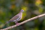 white-winged dove(Zenaida asiatica)