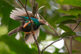 standardwing bird-of-paradise(Semioptera wallacii)