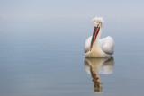 dalmatian pelican(Pelecanus crispus)
