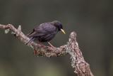 spotless starling(Sturnus unicolor)