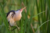 common little bittern(Ixobrichus minutus)