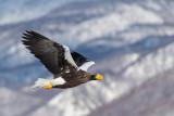 Steller's Sea-eagle(Haliaeetus pelagicus)