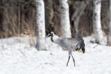 Common Crane(Grus grus)