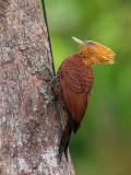 Chestnut-colored Woodpecker(Celeus castaneus)