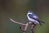 Mangrove Swallow(Tachycineta albilinea)