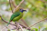 blue-throated toucanet(Aulacorhynchus caeruleogularis)
