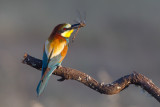 Kingfishers, Bee-eaters, Roller, Hoopoe and  Woodpeckers.