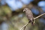 Common 'Balearic' Crossbill (Loxia curvirostra balearica)
