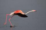 Greater Flamingo - (Phoenicopterus roseus)