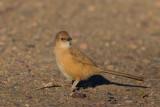 Fulvous Babbler (Turdoides fulvous)