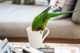 Rainbow lorikeet drinking tea