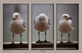 A triptych of three silver gulls