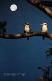 Kookaburra pair
